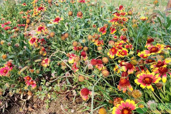 矢车菊品种有哪些?