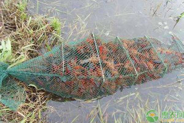 泸州生态小龙虾有何特色?