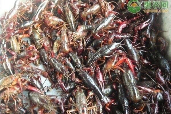 怎样分辨是清水龙虾还是污水龙虾?