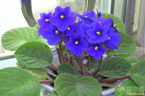 紫罗兰有哪些养护要点?