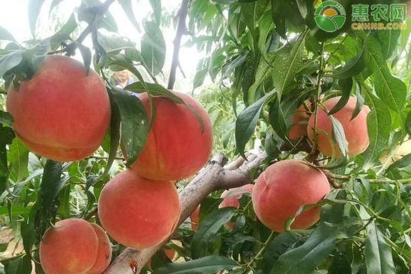 金秋红蜜桃几月份成熟上市?