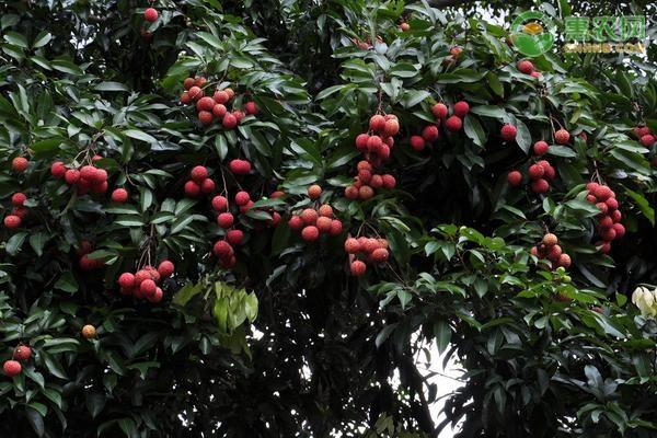 灵山香荔的特点是什么?