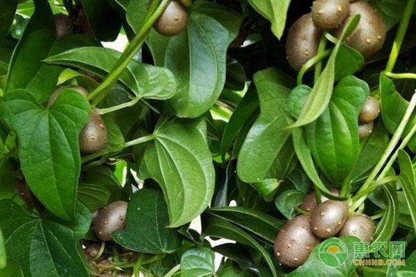 山药豆和山药有什么区别?