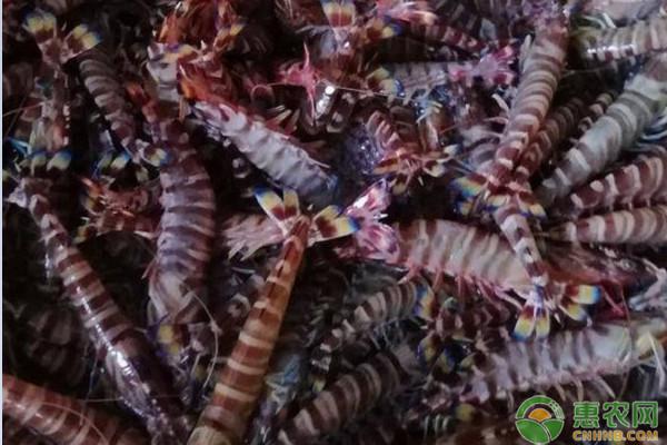 九节虾贵和黑虎虾贵两者有什么区别?