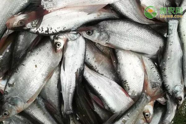 青梢鱼和翘嘴鱼的区别是什么?