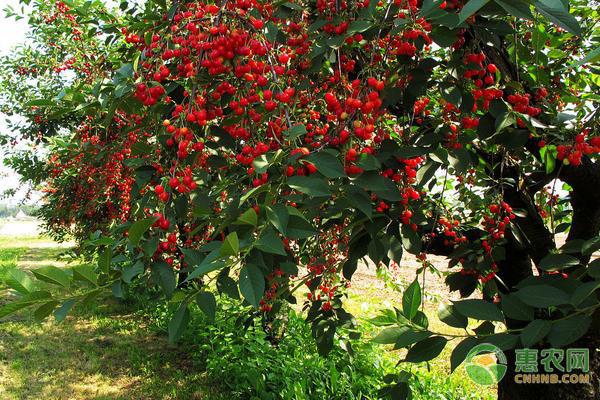 尖尾樱桃产地在哪?