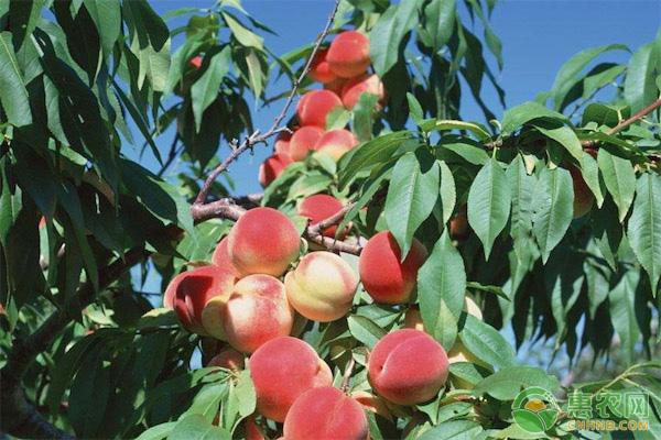 早红桃几月成熟?