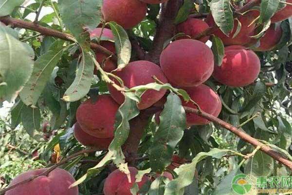 什么桃子品种又脆又甜?
