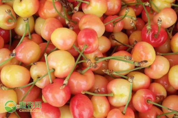那翁樱桃品种