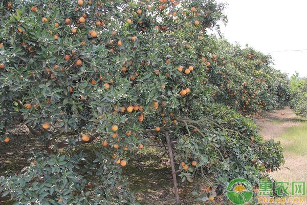 柑橘晚熟品种有哪些?