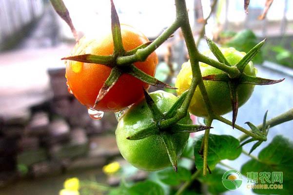 进口的番茄品种有哪些?