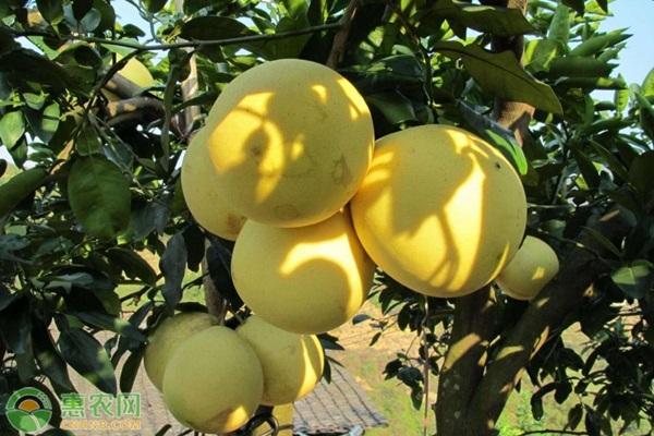 文旦柚几月份成熟上市?