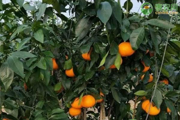 什么柑橘品种又甜又好吃?