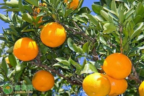 柑橘早熟品种有哪些?