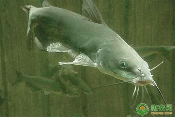 灰色鲶鱼是什么品种?