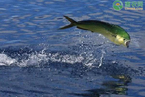 巴马刀鱼的产地在哪里?