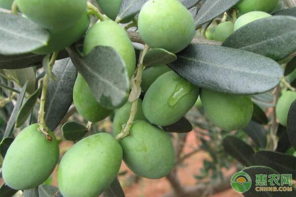 油橄榄和橄榄的区别是什么?