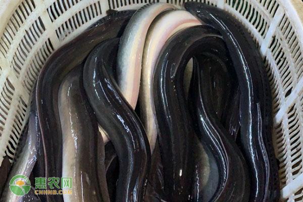 新西兰鳗价格是多少钱一斤?