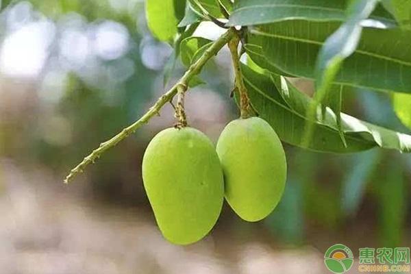 海芒果和芒果有什么区别?