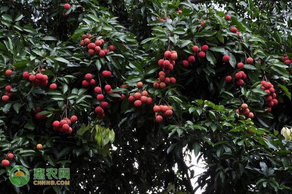 凤山红灯笼荔枝产地在哪?