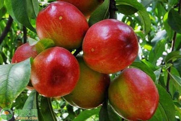 红芒果油桃的原产地在哪?