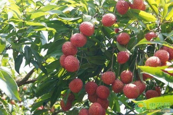 大造荔枝是早熟品种还是迟熟品种?