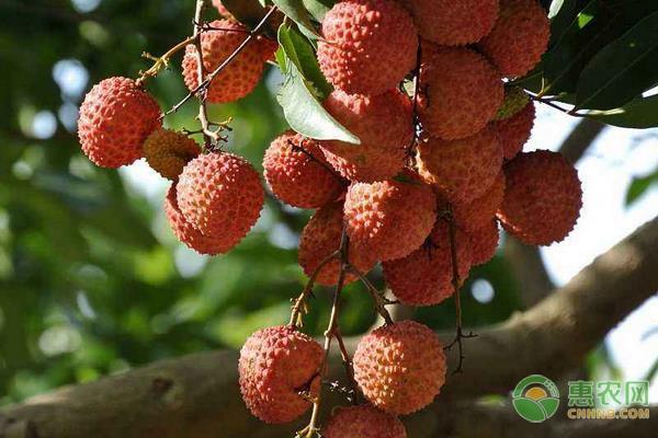 麻垌荔枝有哪些品种?