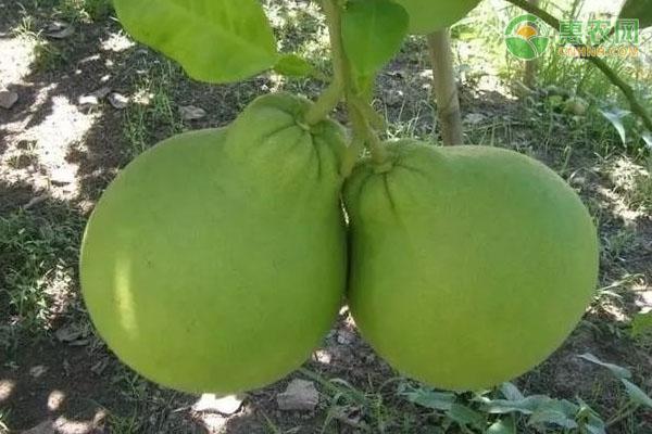 翡翠柚产地在哪?