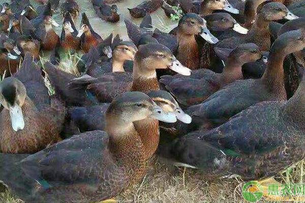 番鸭和麻鸭杂交的优势有哪些?