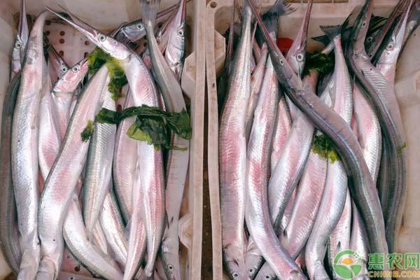 丹江镇水库针鱼是什么鱼?