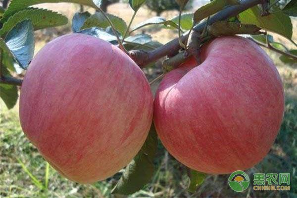 沙果和苹果的区别是什么?