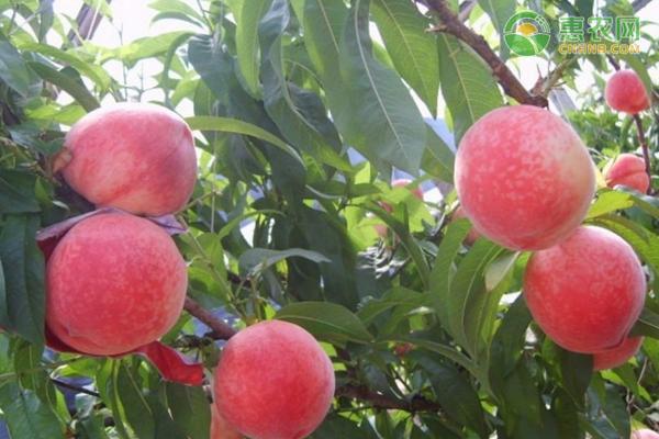春蜜桃和突围桃哪个好?
