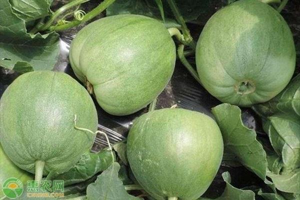 香瓜主要的病害都有哪些?