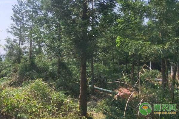 杉树的产地在哪?