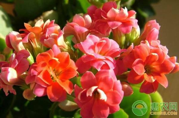 长寿花一般什么时候开花?