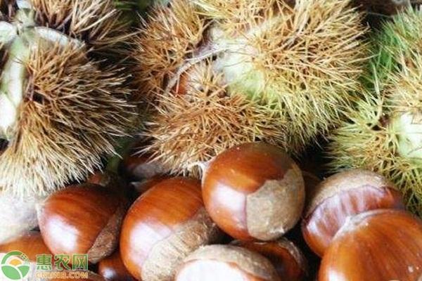 板栗哪个品种果实大?