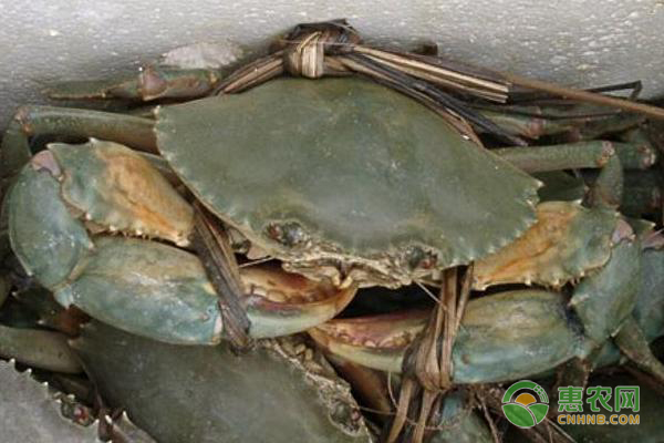 青蟹是淡水还是海水蟹?