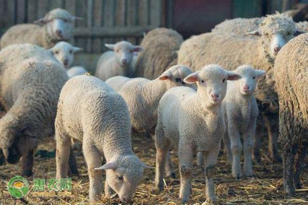 肉羊什么品种好?