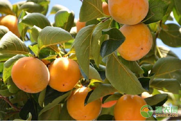 脆柿是什么季节的水果?