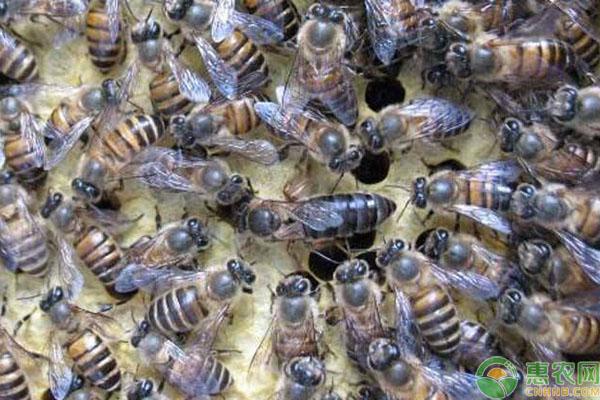 蜜蜂怎么分公母?