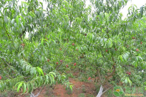 胭脂脆桃和胭脂红桃哪个品种好?