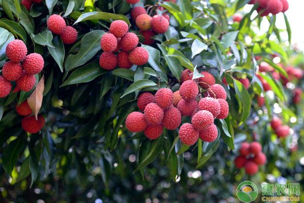 草莓荔是什么品种?