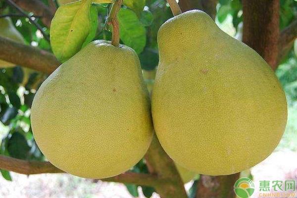 四大名柚是哪四大?
