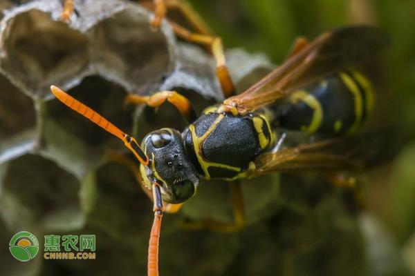 农村山上有很多马蜂,这些马蜂到底是益虫还是害虫?