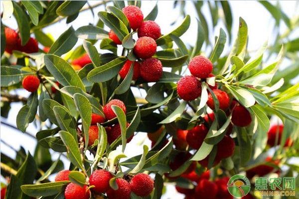 杨梅树产量是关键,一亩地种植多少杨梅树?