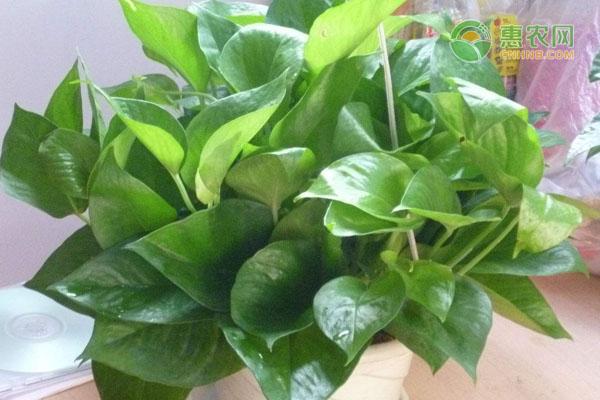 绿萝在冬天出现黄叶,应该如何处理这种情况?