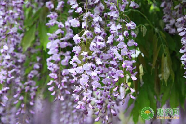紫藤花的产地在哪?