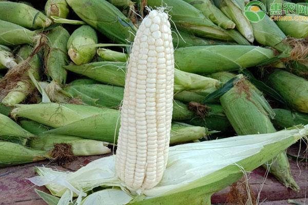 甜玉米和糯玉米的区别是什么?