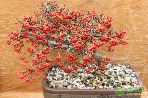 火棘树盆栽好养活吗?