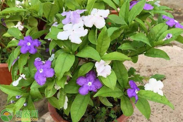 茉莉花的種類非常多,哪種茉莉花香味濃郁?